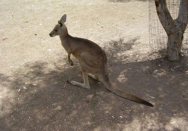 גן גורו – פארק חיות אוסטרלי